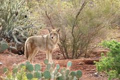 Desert Coyote. Coyote running across a trail in the desert in Phoenix, Arizona royalty free stock photos