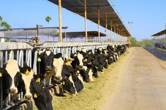 USA, Arizona: Desert Dairy Farm - Meal Time Royalty Free Stock Images