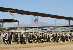 USA, AZ: Desert Dairy Farm - Enjoying the Fodder Royalty Free Stock Photography