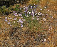 Desert Daisies. Wild daisies in the desert west of Terrebonne, OR royalty free stock images