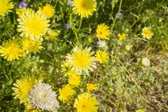 Desert Dandelions Malacothrix glabrata blooming in Anza Borrego Desert State Park, San Diego County, California stock photo