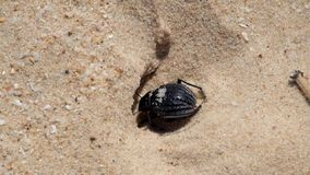 Desert darkling beetle very quickly digs a shelter in the sand. Pimelia bipunctata stock footage