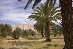 Desert Date Palm Oasis Stock Photos