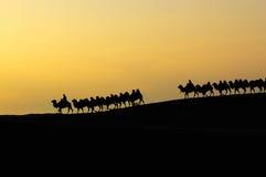 Desert dawn. Camel team in the desert at dawn Stock Photos