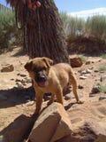 Desert dogs Stock Photography