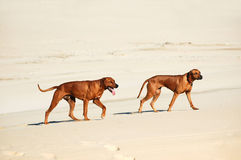 Rhodesian Ridgebacks Royalty Free Stock Images