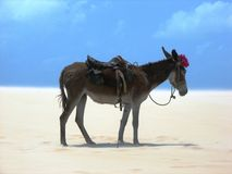 Desert Donkey Stock Photography