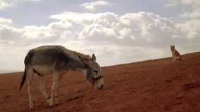 Donkey and dog on a hill in the desert. atmospheric cinematic scene. Desert donkey and dog on a hill in the desert. atmospheric cinematic scene stock video footage