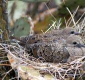 Desert Doves Royalty Free Stock Photo