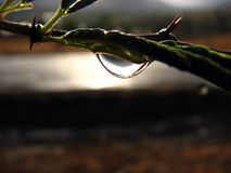Desert Drop. A drop of water shining at sunset on a desert cactus branch after the first seasonal rains in India Royalty Free Stock Image