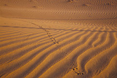 Desert dune with trace of jerboa Stock Photos