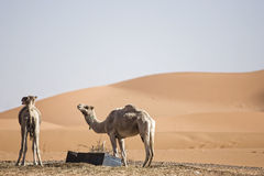 Desert dunes. Sand dunes at morocco desert with two camels, Merzouga Royalty Free Stock Images