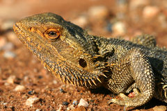 Desert Dweller. A bearded lizard in the late day sun of Australia's Outback Stock Image