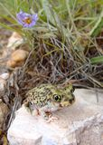 Desert dwelling Spadefoot Toad and Flowers Stock Images