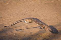Desert eagle owl Royalty Free Stock Photography
