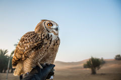 Desert eagle owl. Sitting on a hand of its trainer Stock Image