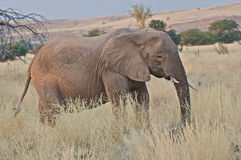 Desert Elephant. The smaller and more agressive desert elaphants only live in the namibian deserts and small patches of savanna Royalty Free Stock Images