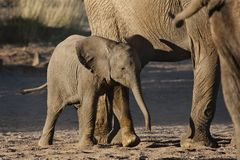 Desert elephant young, Namibia Stock Images