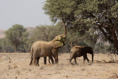 Desert Elephants. The desert Elephants of northern Namibia are perfectly adapted to a living in their very dry territory; this shot taken in the dry riverbed of royalty free stock photos