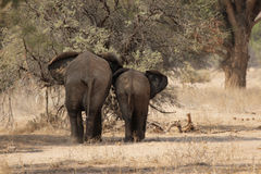 Desert Elephants Stock Photo