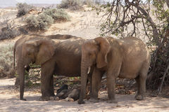Desert Elephants Stock Photos