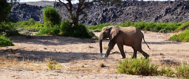Desert elephants in namibia. The desert-adapted elephant generally inhabit the ancient, ephemeral riverbeds that can be found in north-west regions of Namibia Royalty Free Stock Photography