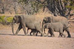 Desert elephants Royalty Free Stock Image