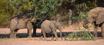 Desert elephants Royalty Free Stock Images