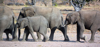 Desert elephants Stock Photography