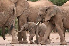 Desert Elephants in Twyfelfontein Camp Stock Photography