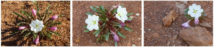 Desert evening primrose flower collage Royalty Free Stock Images