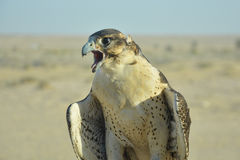 Desert falcon with opened pecker. In UAE Stock Images