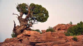 Desert Fauna. Tree in desert in Utah with twisted trunk Stock Image