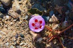 Desert Five Spot Just Opening stock images