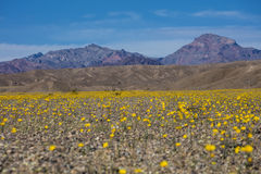 Desert floor in bloom with flowers Stock Image