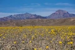 Desert floor in bloom with flowers Stock Image