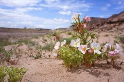 Desert Floor Flowers Royalty Free Stock Images