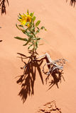 Desert Flower Stock Images