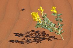 Desert flower Royalty Free Stock Images