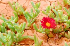 Desert flower Royalty Free Stock Photography