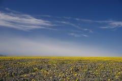 Desert flower bloom. Death valley wildflower super bloom Royalty Free Stock Photography