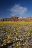 Desert flower bloom. Death valley wildflower super bloom Royalty Free Stock Image