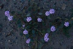 Desert flower bloom. Death valley wildflower super bloom Royalty Free Stock Photo