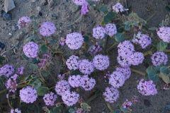 Desert flower bloom. Death valley wildflower super bloom Stock Photo