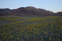 Desert flower bloom. Death valley wildflower super bloom Stock Images