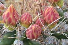 Desert flower. Close up orange dessert flower on cactus Royalty Free Stock Photos