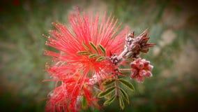 Desert Flower Stock Images