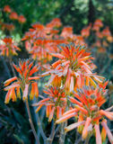Aloe Flower Orange Bloom. Hot and dry climate of Arizona boasts some beautiful spring flowers in amongst the cactus Royalty Free Stock Images