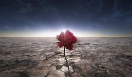 Desert flower. A picture of the rose flower grown in a dusty lifeless desert stock photo
