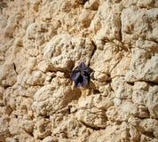 Desert flower in a rock. Purple flower growing in a rock in the israeli desert Stock Images